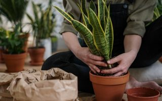 Person planting a snake plant