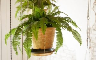 fern in a DIY indoor hanging planter