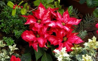 Festive Christmas Plants for Holiday Decorating