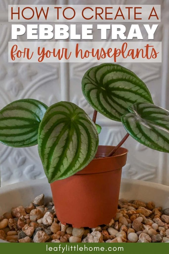 Image of watermelon peperomia plant and the text How to create a pebble tray for your houseplants